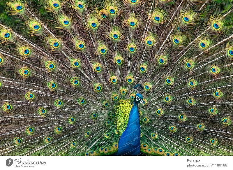 Peacock illustration Elegant Garden Man Adults Nature Animal Bird Natural Wild Blue Green Pride Colour cristatus peafowl pavo Indian plumage Feather head
