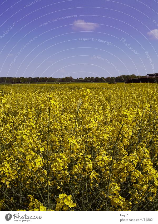 Yellow Field Agriculture Canola