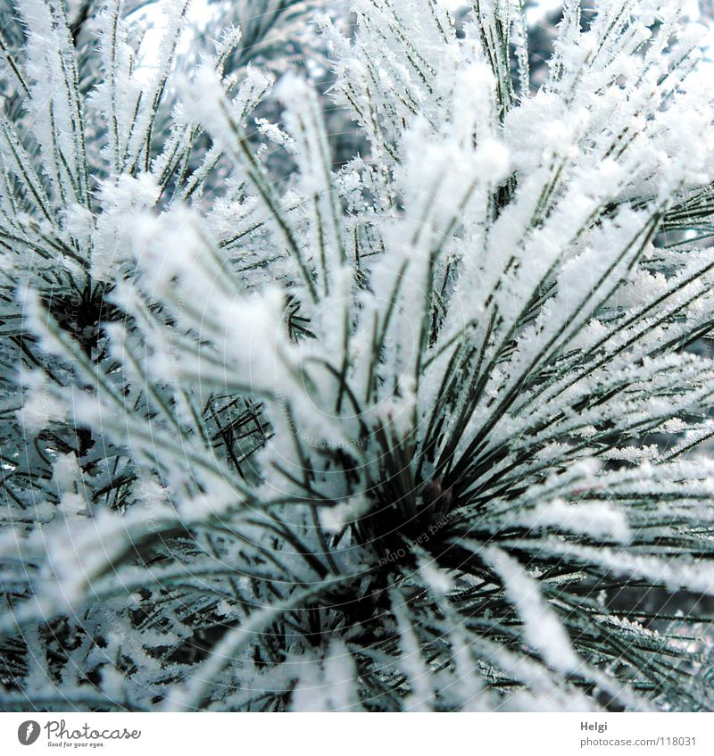 in the winter forest... Winter December January February Freeze Frozen Hoar frost Cold Ice crystal Winter forest Tree Plant Long Thin Green White Glittering