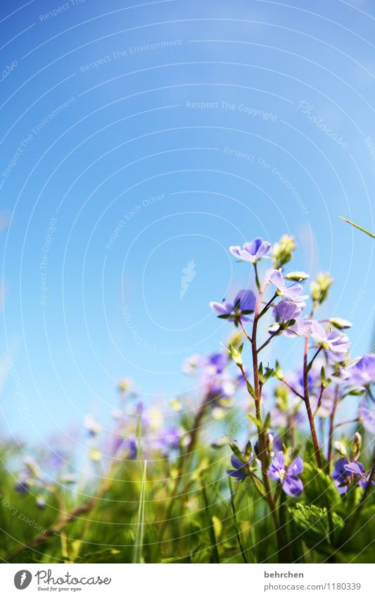 Delicate Environment Nature Plant Sky Cloudless sky Spring Summer Autumn Beautiful weather Flower Grass Veronica Garden Park Meadow Field Blossoming Growth