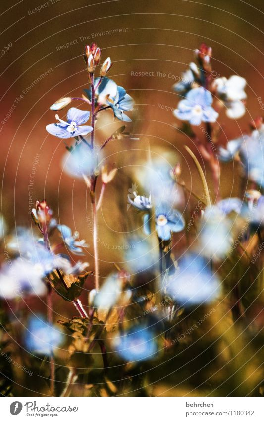 Nature Plant Blue Beautiful Summer Flower Leaf Warmth Blossom Spring Meadow Grass Small Garden Brown Dream