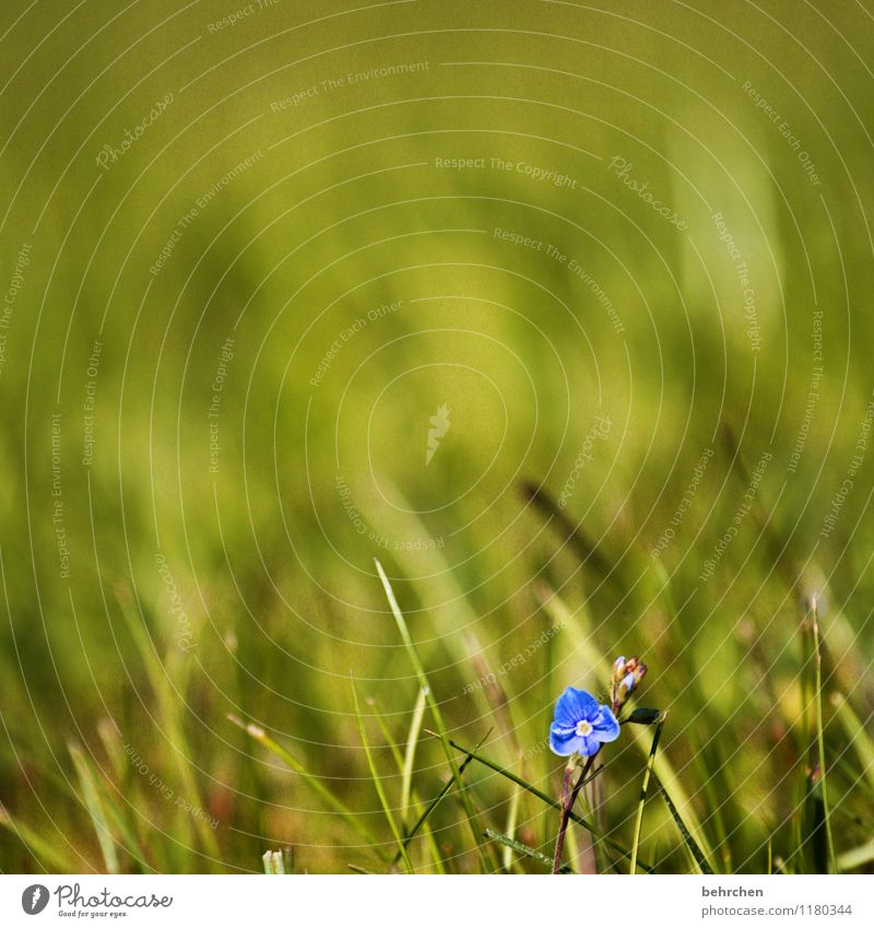 solitary Nature Plant Spring Summer Beautiful weather Flower Grass Leaf Blossom Wild plant Veronica Garden Park Meadow Blossoming Fragrance Faded Growth Small