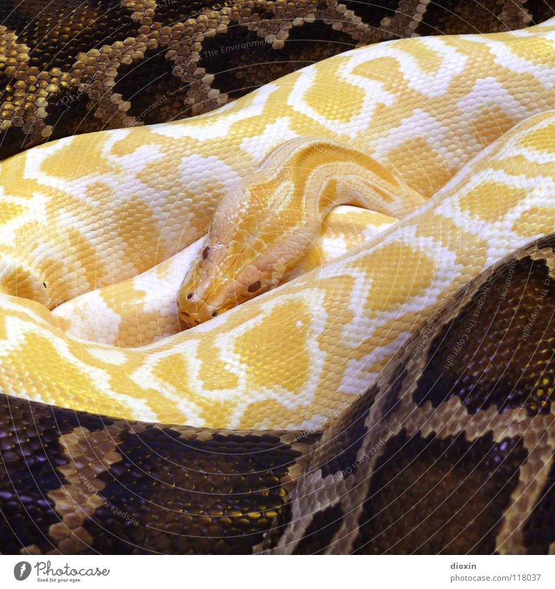 Relaxation Animal Yellow Warmth Exceptional Brown Contentment Threat Protection Safety Attachment Exotic Paradise Safety (feeling of) Thailand Snake