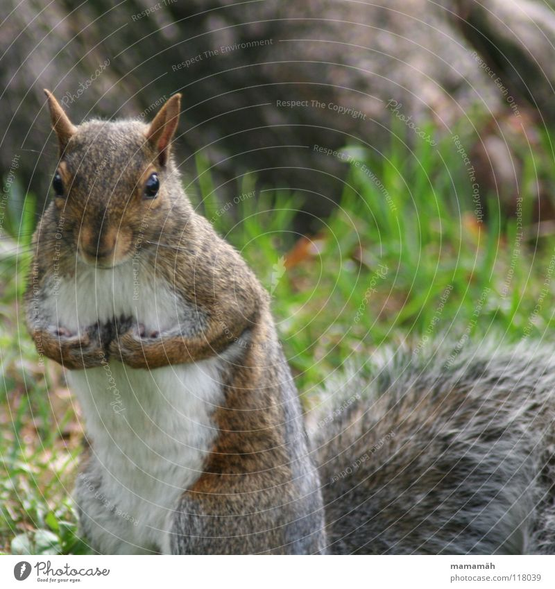 Favourite animal: squirrel! Part 1 Squirrel Paw Bushy Sweet Small Cute Tree Meadow Grass Toronto Park Speed Brown Pelt Rodent Mammal Be confident Brash Ear Nose