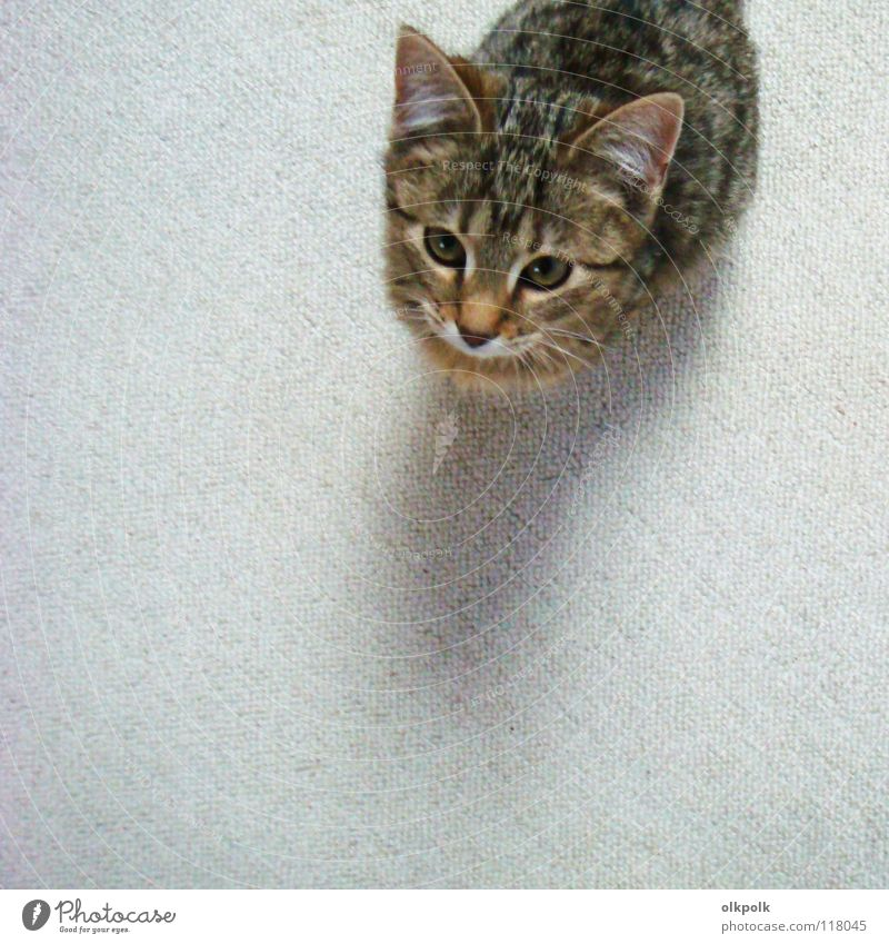 the small one with the big ears Cat Pelt Carpet White Tiger skin pattern Soft Snout Obedient Small Bird's-eye view Mammal kitty Tabby cat Ear Shadow