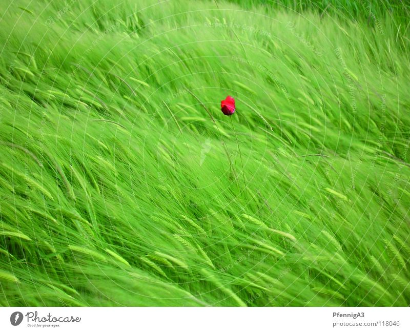 Nature Red Loneliness Wind Grain Poppy