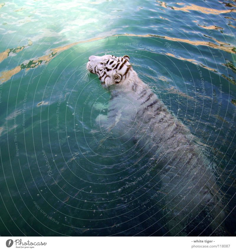 Wet cat Animal Water Blue Black White Tiger Snout Colour photo Exterior shot Day Reflection Swimming & Bathing Deserted 1