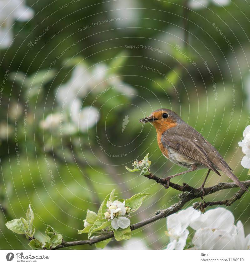 rest Robin redbreast Bird Apple blossom Tree Spring Branch