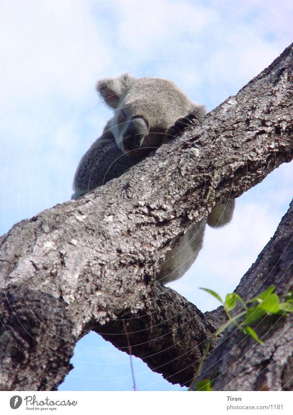 Australia Koala Marsupial