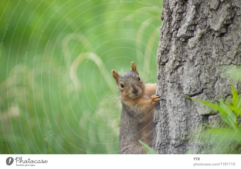 You didn't see anything! Environment Nature Landscape Tree Grass Park Animal Wild animal Animal face Pelt Claw Paw 1 Astute Funny Rebellious Green Squirrel Ear