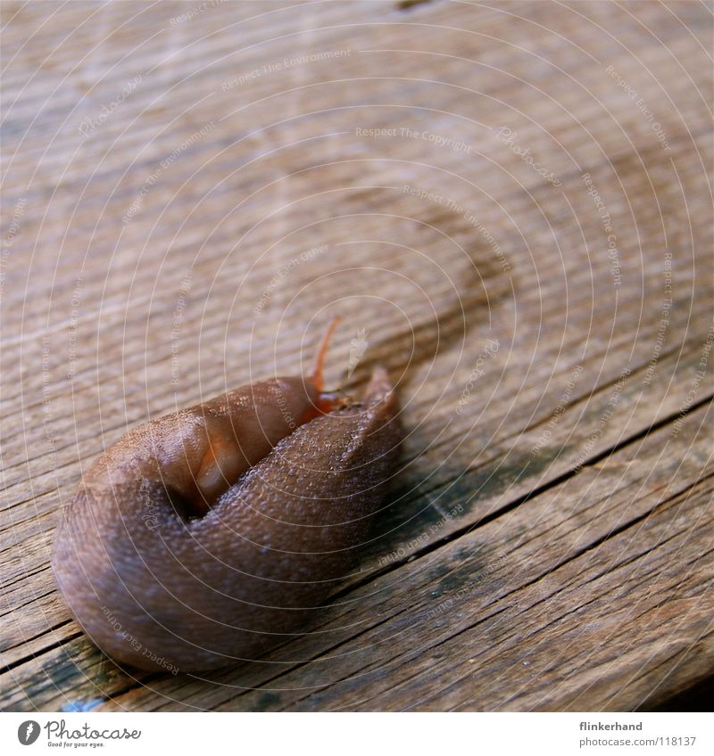 U-Turn Snail Rotate Turn back Trail of mucus Mucus Wood Hallway Wooden floor Terrace Summer Feeler Slug Wet Damp Brown Turnaround Arrival Come Tails Cuddling