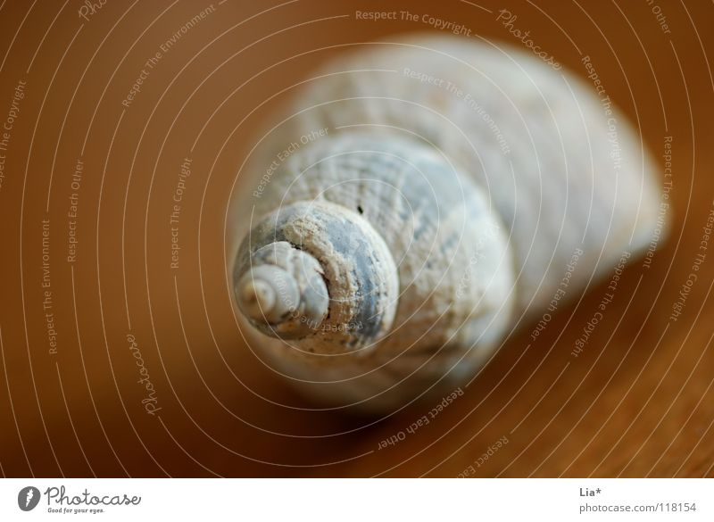find Snail shell Mussel House (Residential Structure) Spiral Rotated Ocean Lake Seafood Screw Lacking Rarity Lime Decoration Jewellery Round Find Discovery