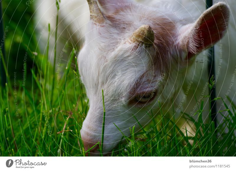 Soil and field day   Utilization area Plant Spring Summer Grass Pasture Meadow Animal Farm animal Animal face Pelt Goats Baby animal Head Eyes Ear Antlers