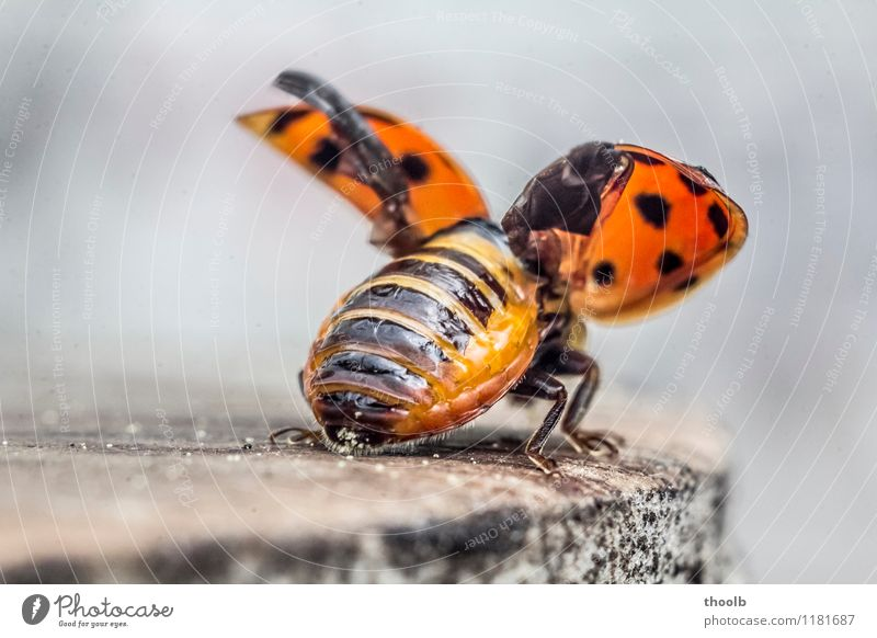 ladybird shortly before departure Environment Nature Animal Happy Sustainability Optimism Growth detail Grand piano Insect Ladybird Blur Unfolded Frontal Red