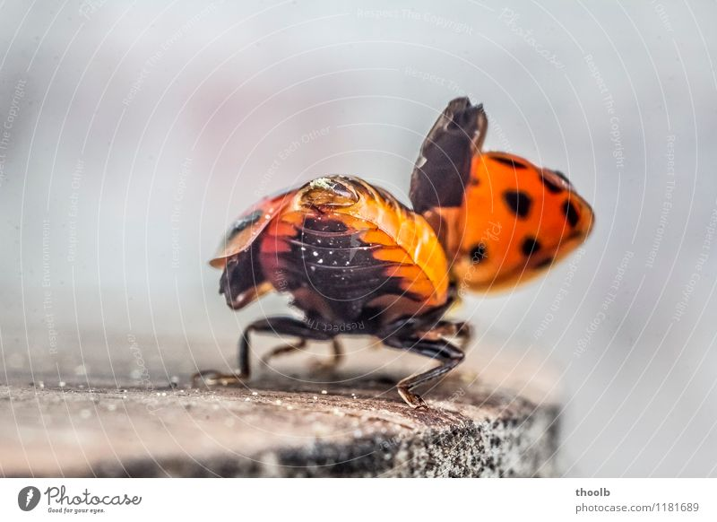 ladybird shortly before departure Happy Aviation Environment Nature Animal Fly Wing Small Natural Beginning Geometry Good luck charm Insect Ladybird Point