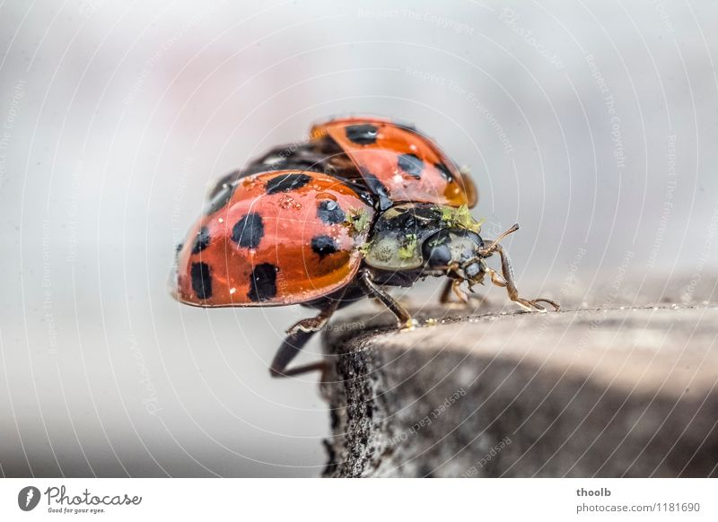 ladybird frontal Happy Aviation Environment Nature Animal Fly Wing Flying Small Natural Beginning Grand piano Geometry Good luck charm Insect Ladybird Point
