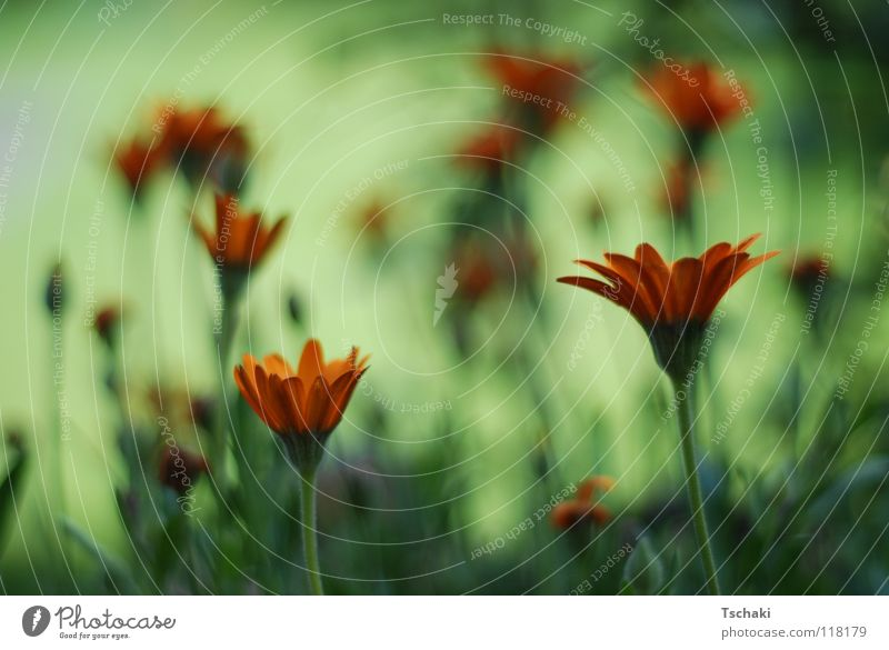flower field Flower Green Blur Summer Washed out Soft Delicate Painted Painting and drawing (object) Plant Orange Nature Relaxation softened