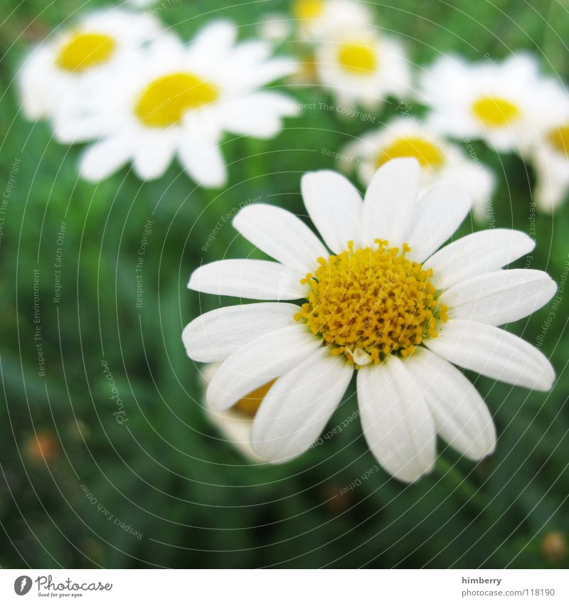 camillecase Flower Multicoloured Blossom Summer Spring Beautiful Growth Flourish Park Garden Bed (Horticulture) Flowerbed Chamomile Daisy Marguerite Plant