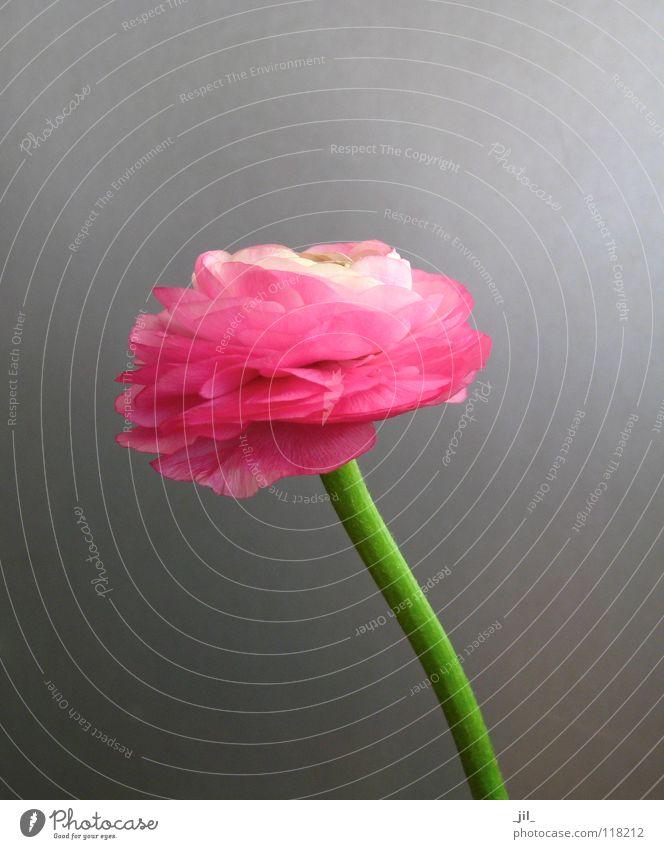 Beautiful Flower Green Life Gray Pink Force Pure Delicate Minimal Gaudy Few Globeflower