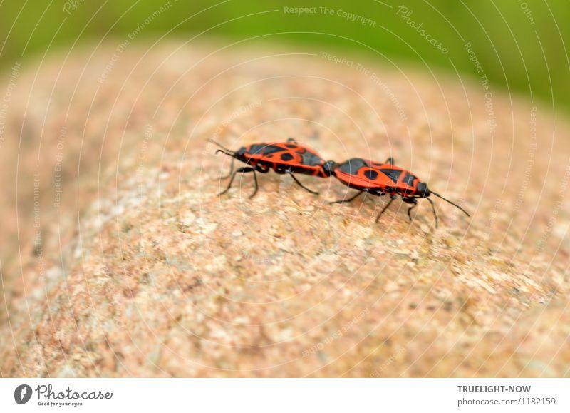 encounter Nature Beautiful weather Garden Stone Animal Insect Firebug Bug 2 Pair of animals Rutting season Touch Crawl Sex Esthetic Disgust Eroticism Brash Free