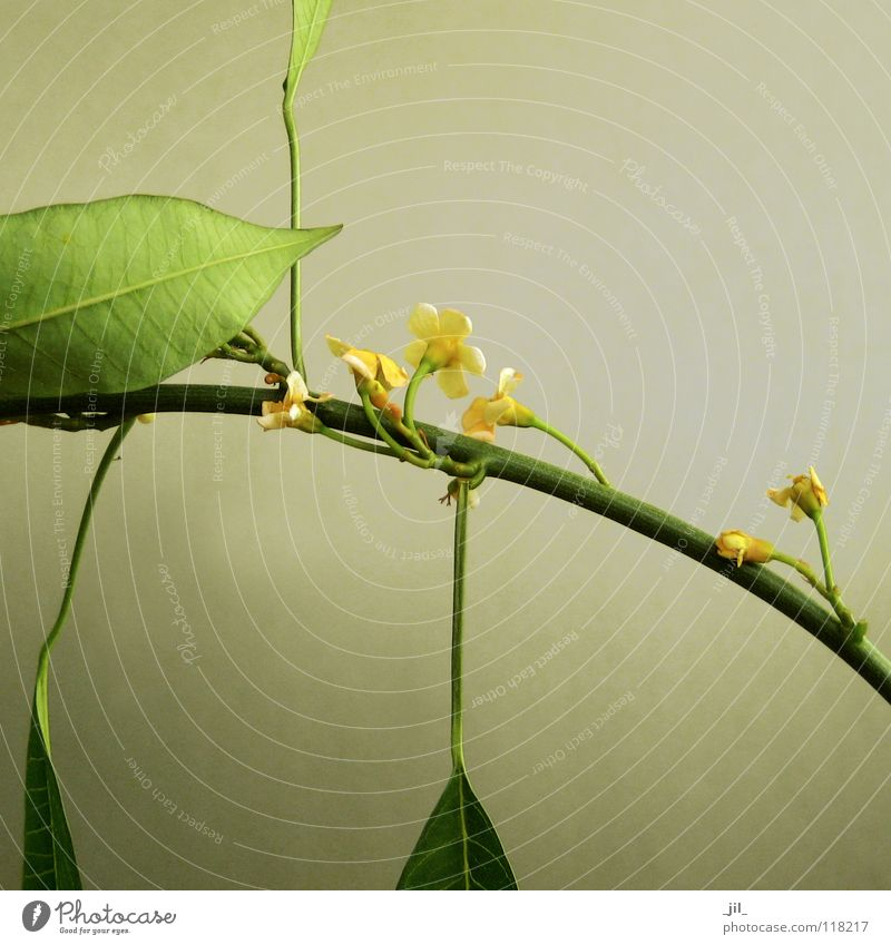 Beautiful Flower Green Yellow Blossom Spring Soft Pure Delicate Stalk Caresses Delicate Khaki