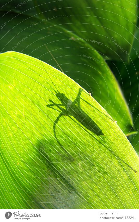 grashopper Green Insect Summer Animal Locust Shadow Nature