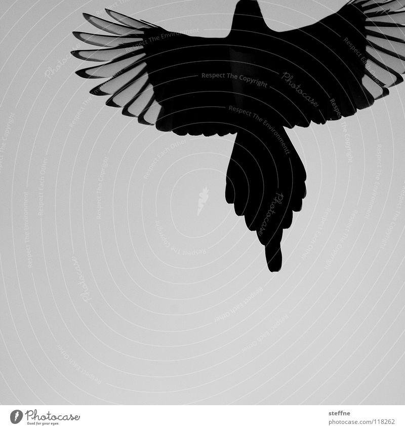 Rise of the PHOENIX Bird Black-billed magpie White Aerodynamics Autumn Cold Calm Loneliness Feather Thief Purloin Raven birds Resurrect Tails Crow Power Magic