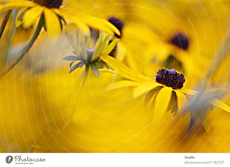 All in yellow Nature Plant Summer Flower Blossom Rudbeckia Blossom leave Herbaceous plants Garden plants Summerflower Rose plants Blossoming Beautiful Warmth