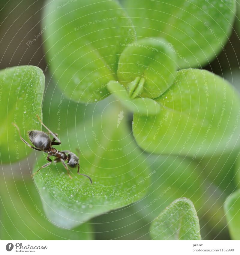 Ant on green Environment Nature Plant Animal Spring Beautiful weather Leaf Wild animal 1 Green Insect Crawl Colour photo Exterior shot Close-up