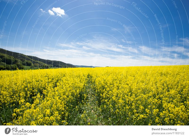 The rapeseed is high Agriculture Forestry Nature Landscape Plant Animal Sky Clouds Spring Summer Beautiful weather Flower Blossom Agricultural crop Field Blue