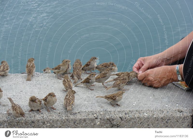 sparrow conversation Hand Fingers Water Animal Bird Group of animals To feed Feeding Curiosity Blue Brown Gray Nature Animals Feed the birds Sparrow