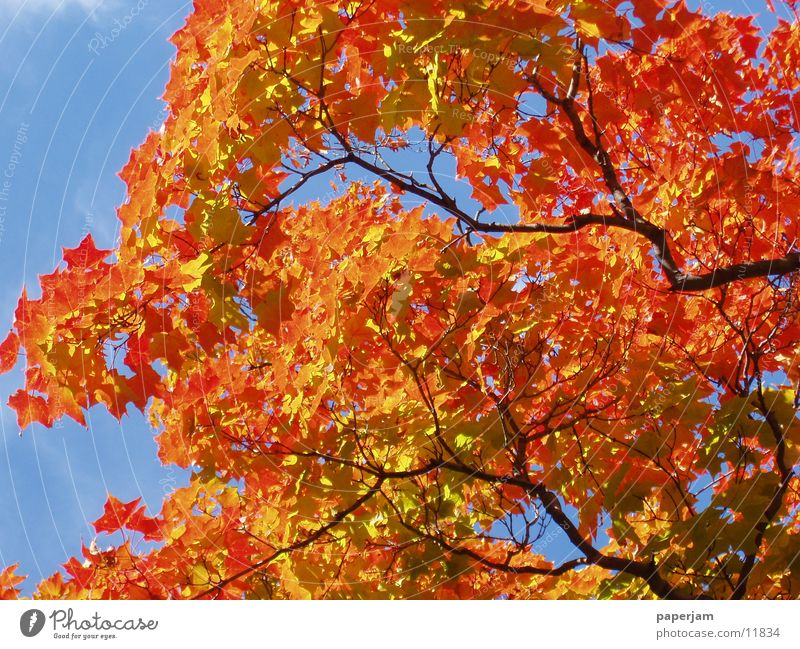 Indian buzzer Tree Leaf Red Yellow Colouring Indian Summer Maple tree Branch Twig Autumn leaves USA folio