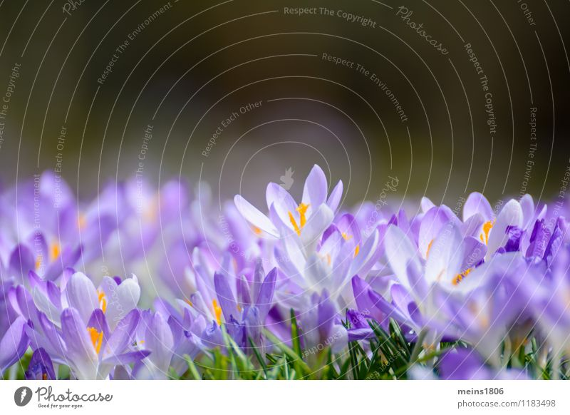 crocodile Wellness Calm Freedom Summer Environment Nature Plant Spring Flower Wild plant Faded Violet Hope Colour photo Exterior shot Copy Space top Morning