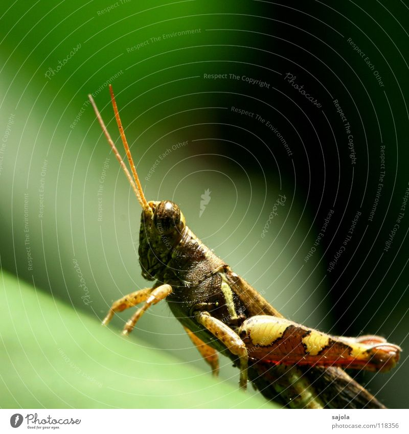 Nature Green Animal Environment Eyes Legs Brown Wait Might Observe Animal face Asia Insect Virgin forest Feeler Singapore