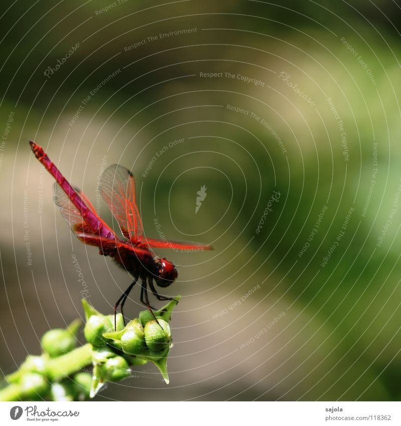 Plant Eyes Animal Wait Pink Esthetic Asia Wing Insect Singapore Dragonfly Compound eye Aurora Dragonfly wings