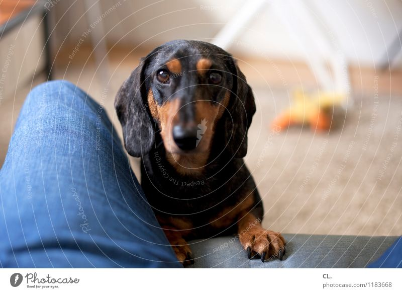 um, play? Living or residing Flat (apartment) Furniture Sofa Room Human being Legs 1 Jeans Animal Pet Dog Dachshund Observe Playing Cute Joy Happy