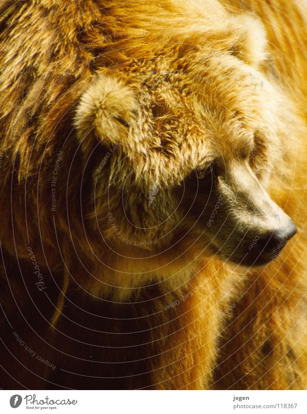 Nature Animal Brown Nose Dangerous Wild animal Threat Soft Pelt Zoo Strong Paw Mammal Cuddly Environmental protection Bear