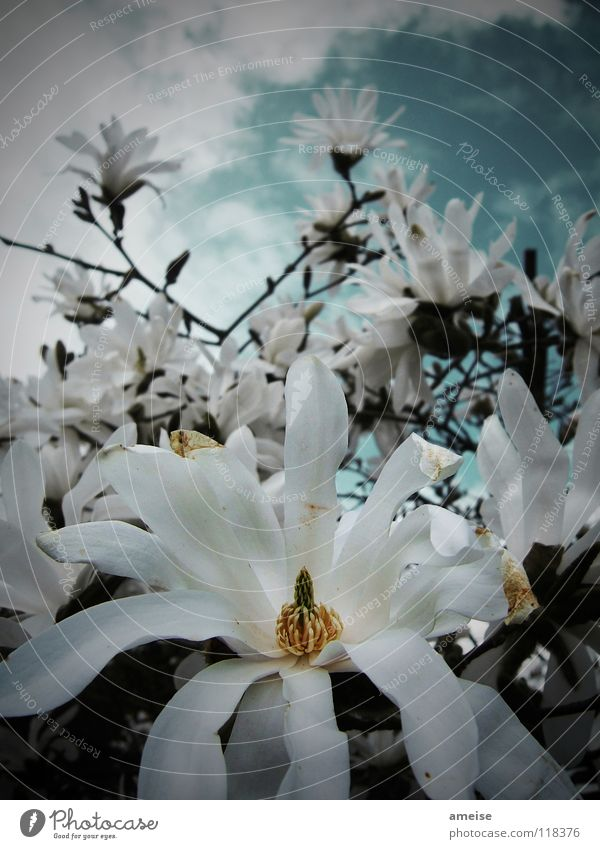 Nature Sky White Flower Summer Clouds Dark Blossom Branch Afternoon Bad weather Magnolia plants Star magnolia