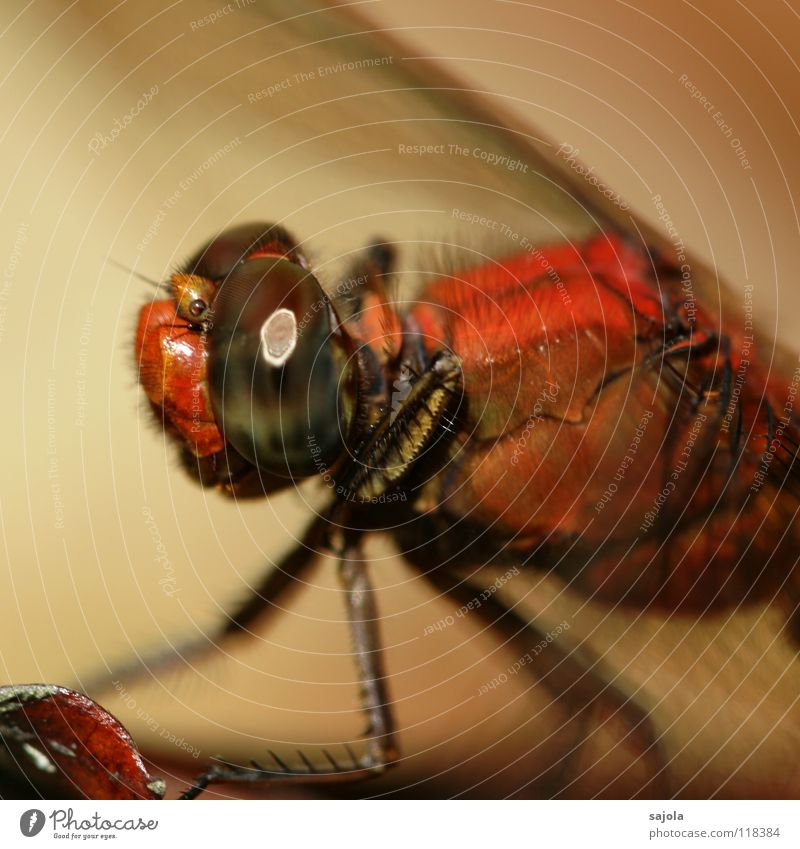 Nature Eyes Animal Legs Orange Wait Animal face Asia Wing Insect Observe Singapore Dragonfly Compound eye
