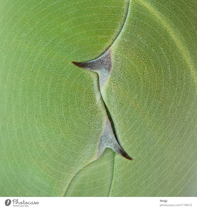 Close-up of agave leaves with sharp thorns Agave Plant Succulent plants Cactus Thorn Green Brown Growth Ornamental plant Together Side by side Large Small