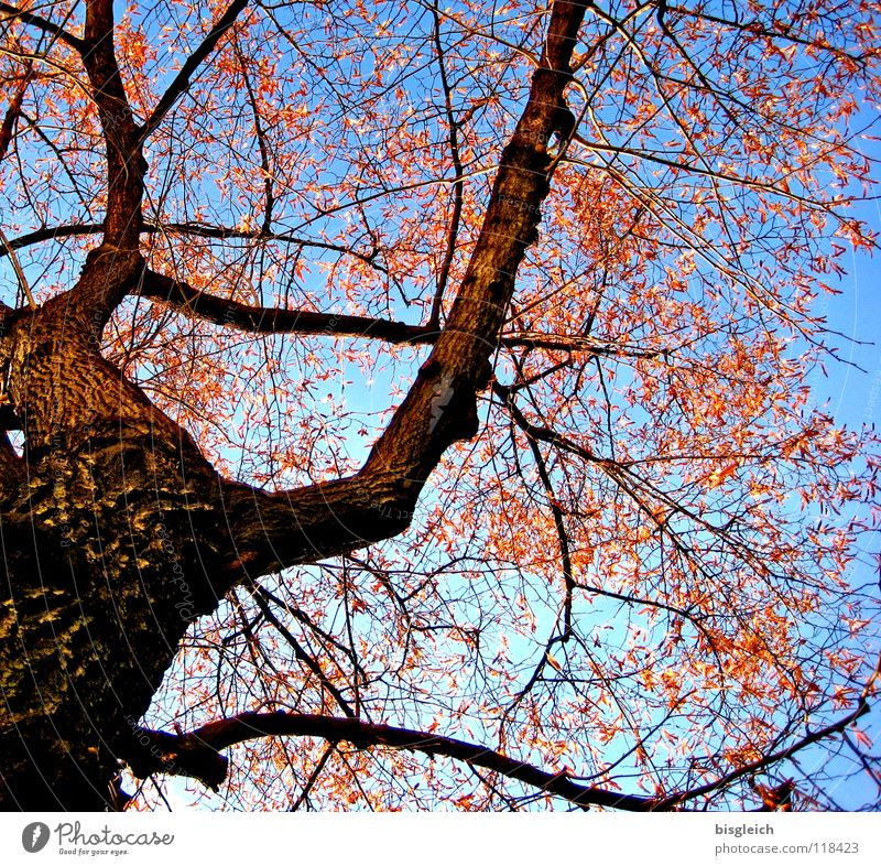 autumn tree Colour photo Exterior shot Deserted Worm's-eye view Sky Autumn Tree Leaf Cold Blue Brown Environment Environmental protection Growth Tree trunk