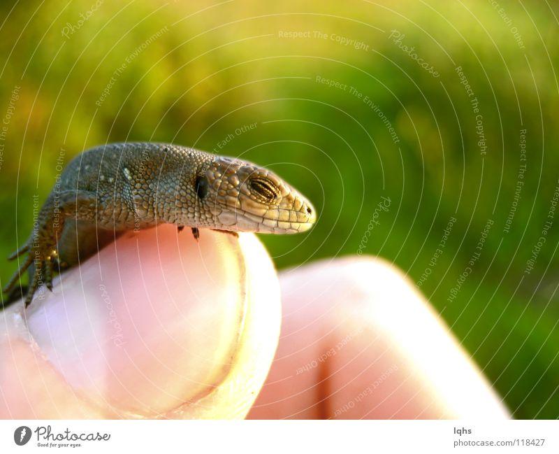 Little sleep dragon Lizard Reptiles Dragon pangolin small liitle tame pet