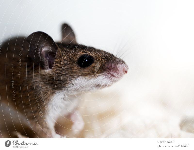 Eyes Animal Brown Small Ear Animal face Pelt Cute Mouse Mammal Pet Snout Rodent Pests Diminutive Button eyes