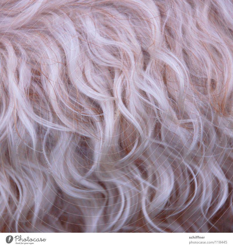 Dog Blonde Pelt Mammal Curly Bushy Undulating Terrier Undulation Shaggy hair Coat care Dog parlor
