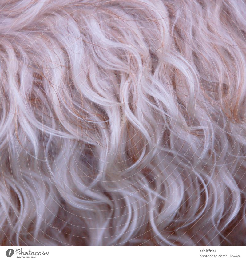 Dog Blonde Pelt Mammal Curly Bushy Undulating Terrier Undulation Shaggy hair Coat care Dog parlor