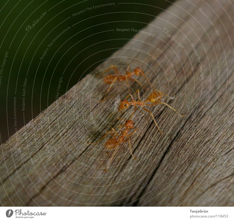 Antz Wood Animal Brown Insect Lane change Oncoming traffic Tracks Pests Macro (Extreme close-up) Close-up Tree trunk Spike ants Feet Wood grain antz Orange
