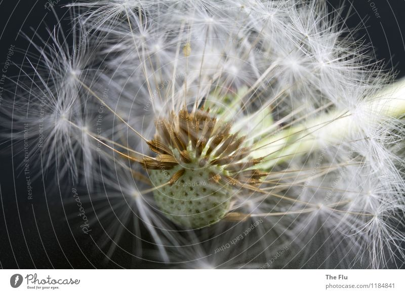Plant Beautiful White Flower Spring Blossom Gray Flying Brown Esthetic Blossoming To fall Delicate Ease Dandelion Hover