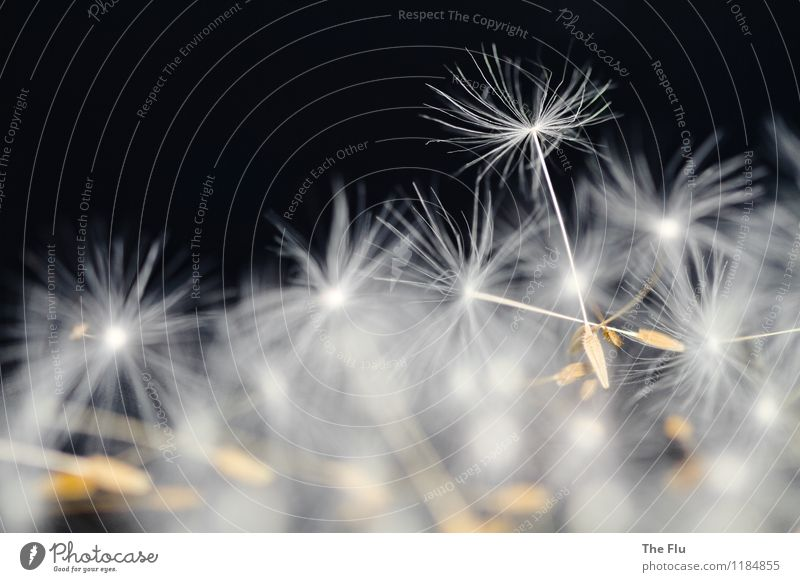 primus inter pares Plant Flower Dandelion Seed Blossoming Flying Glittering Illuminate Dream Faded To dry up Growth Exceptional Elegant Brown Black White