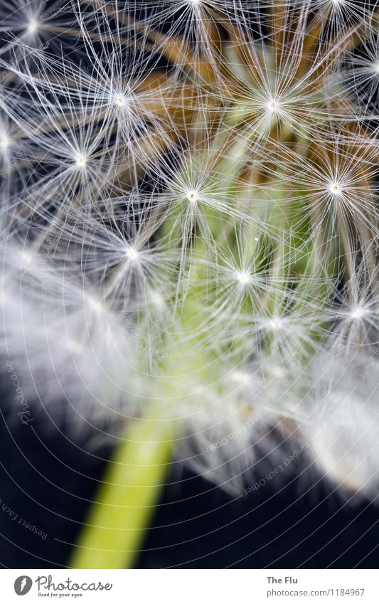 fireworks of nature Spring Flower Dandelion Garden Old Blossoming Flying Love Dream Faded To dry up Growth Exceptional Natural Brown Green Black White Emotions