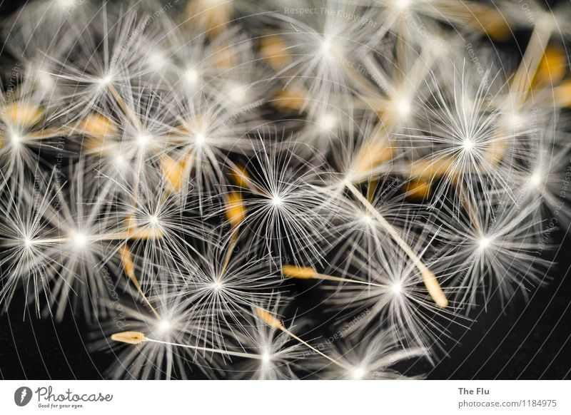 Filigree beauty Nature Plant Spring Summer Flower Wild plant Dandelion Seed Seed plant Blossoming Flying Faded To dry up Growth Esthetic Beautiful Brown Black